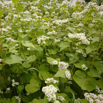 Buckwheat flowers for bees