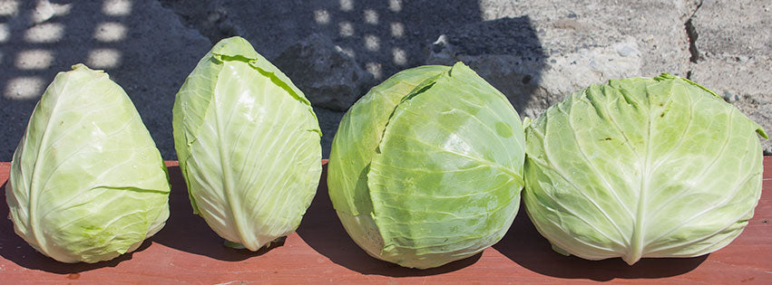 Diverse cabbage forms