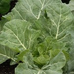 Champion Collard Seeds CO350
