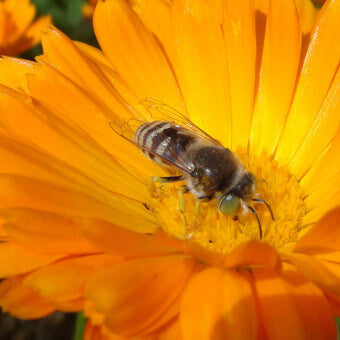Calendula flowers for bees