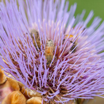 Cardoon flowers for bees