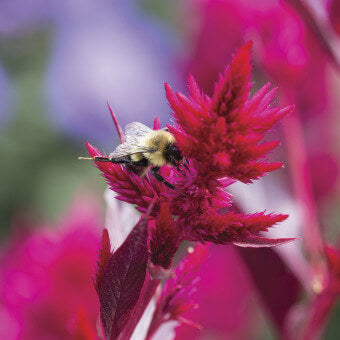 Celosia flowers for bees