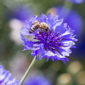 Centaurea flowers for bees