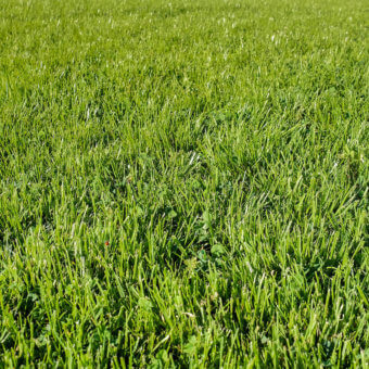 Chafer Beetle Resistant Lawn Blend