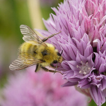 Chives flowers for bees