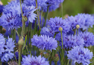 Blossoms of Cornflower Seeds in bloom