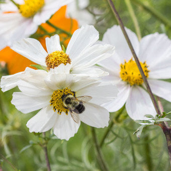 Cosmos flowsers for bees