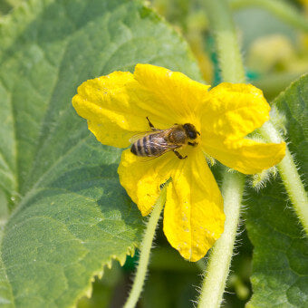 Cucumber flowers for bees