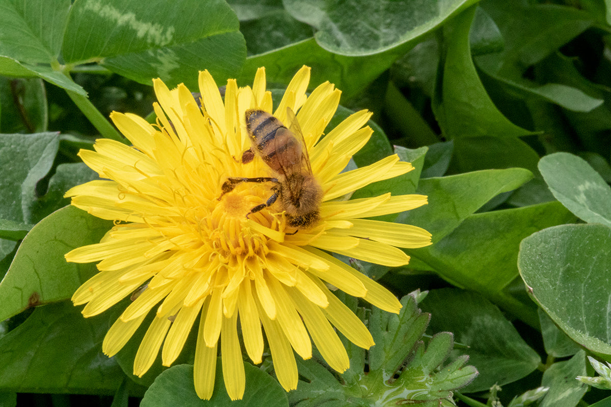Honeybee visiting a dandelion flower