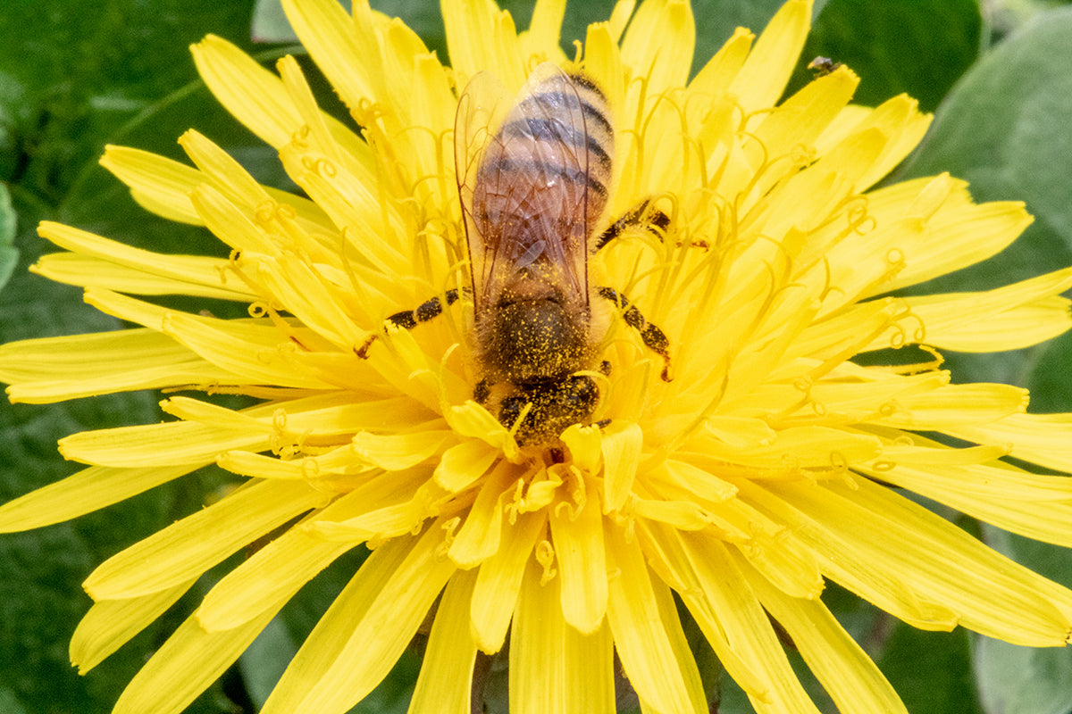 Honeybee pollinating a dandelion