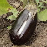 Eggplants in Companion Planting