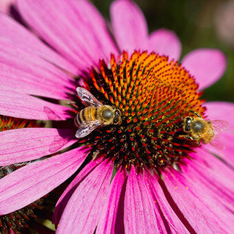 Echinacea flowers for bees