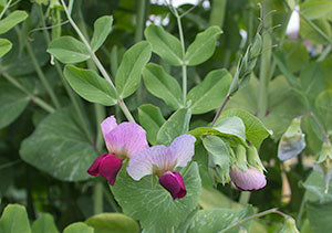 Edible pea flowers