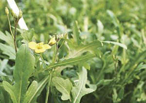 Edible flowers arugula flowers