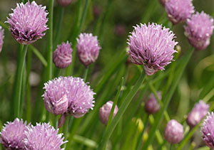 List of edible flowers including chives