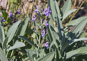 Sage makes the list of edible flowers