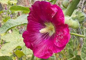 Hollyhocks edible flowers