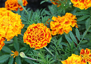Edible marigold flowers
