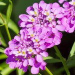 Candytuft Iberis seeds in Companion Planting