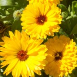 Calendula and Companion Planting