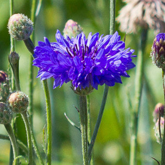 Blooming Centaurea seeds - Cornflowers FL2187 F