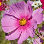 How to grow Cosmos-Seeds SensationFL2403 F