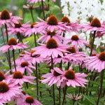 Companion Planting with Echinacea
