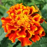 Marigolds in Companion Planting