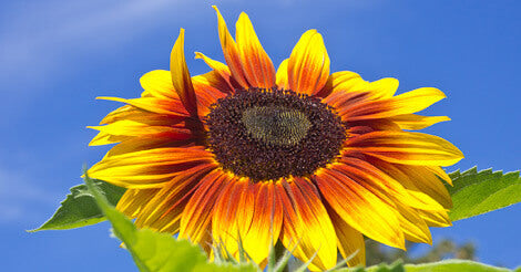 Solar Power Sunflower Seeds