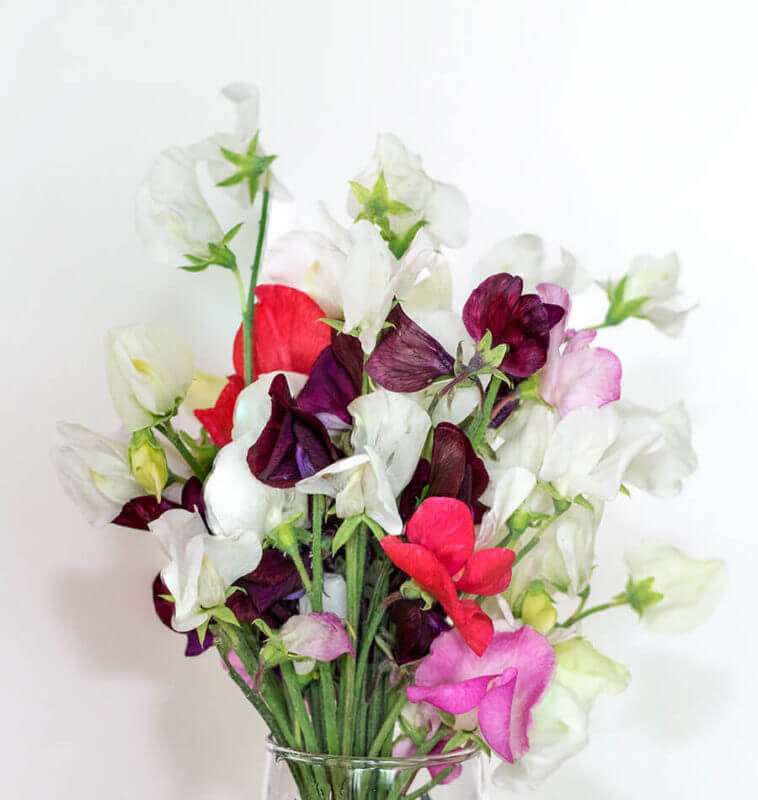 Royal Family Sweet Pea Blend