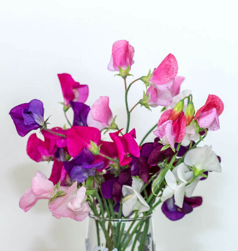 Cuthbertson Sweet Pea Seeds