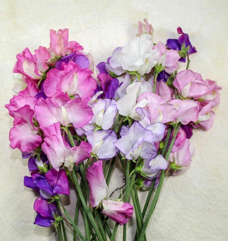 Late Spencer Sweet Peas
