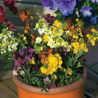 how to grow wallflowers Lollipop Wallflower Seeds FL3426-1