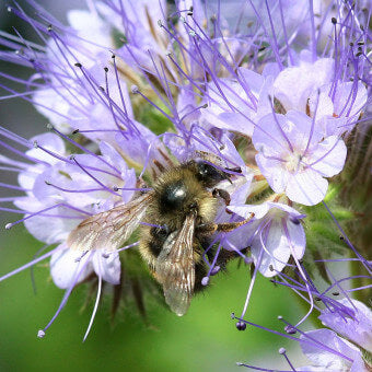 How to grow Phacelia Seeds FL3445 F