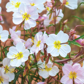 Pale Evening Primrose Oenothera Seeds FL3821