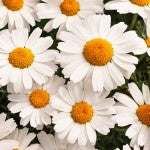 Companion Planting with Chrysanthemum Seeds