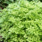 Companion Planting with Chervil