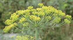 Dill for companion planting