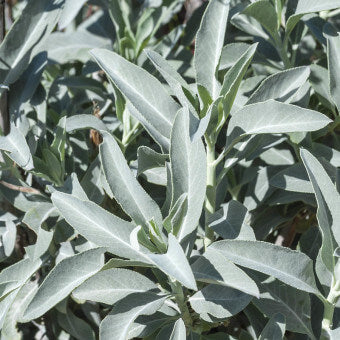 White Sage Seeds HR1168-1