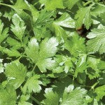 Companion Planting with Cilantro