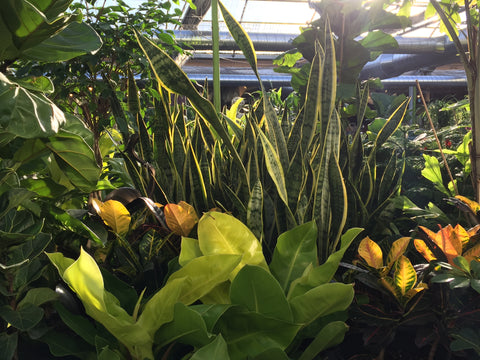 Various Houseplants include a snake plant at Minter Country Garden