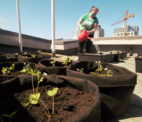 Grow bags filled with soil and plants, person watering in the background.