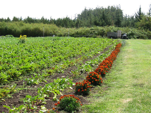 Rows of vegetables growing at the Farmlands Trust Society (Greater Victoria)