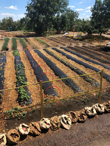 Rows of vegetables planted at Highfield Farm