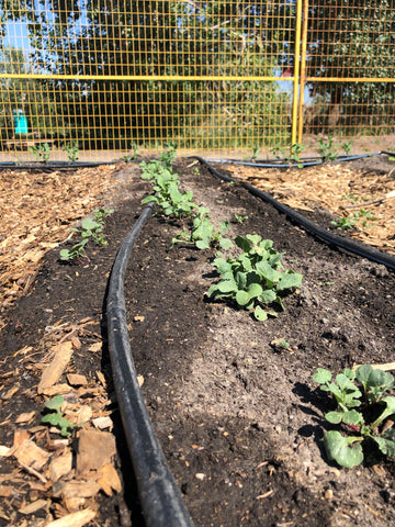 Garden row with seedlings growing at Highfield Farm