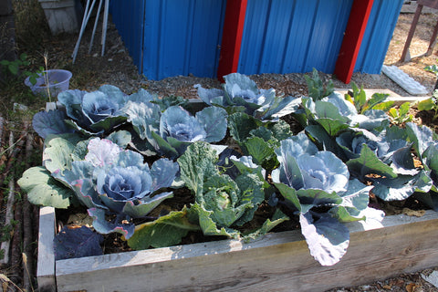 cabbage plants growing at cowichan lake community garden