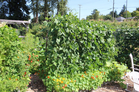 bean plant growing at the community gardens at cowichan lake