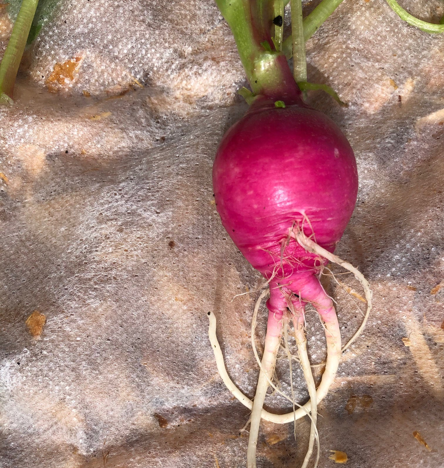 Multiple tap roots on radishes
