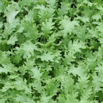 Improved Siberian Kale Seeds water KL421