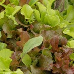 Good Companion Plants for Lettuce